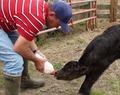Ouvrier d'élevage