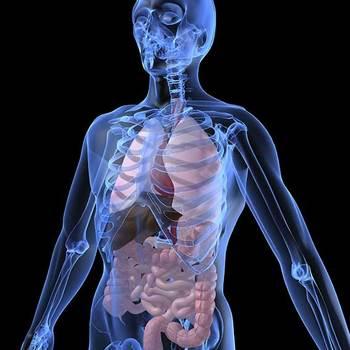 anatomiste, morphologiste