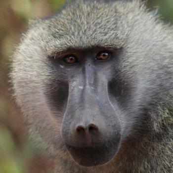 primatologue